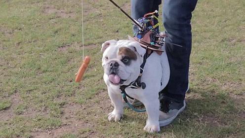 老外在狗狗的头上挂着一根香肠,狗怎么也吃不到,真是太坏了!