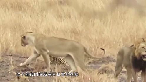 戏精豹子闯入狮群领地,竟毫发无伤逃出,太聪明了