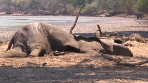 干旱对动物影响有多大?津巴布韦大象死亡200头,看完让人心酸