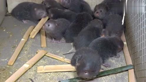 一上午没吃东西的竹鼠,刚拿到竹子,一个个吃得津津有味