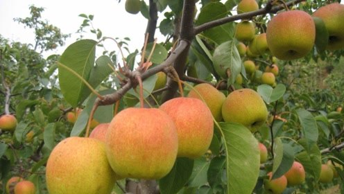 拥有金字招牌的水果,往年卖6元一斤,为何今年2块一斤卖不动?