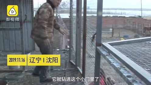 猛禽钻鸽笼偷吃4只信鸽,被抓还一脸无辜