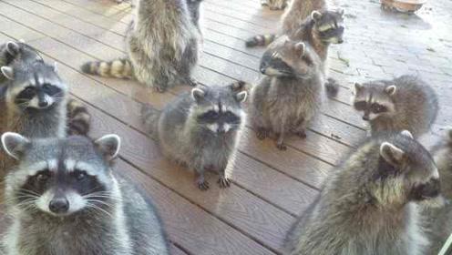 摊上事了!浣熊携全家上门乞讨,美国网友:前两天喂过一只