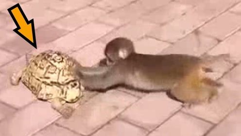 猴子看见乌龟走得太慢了,跑到后面帮着推,太逗了