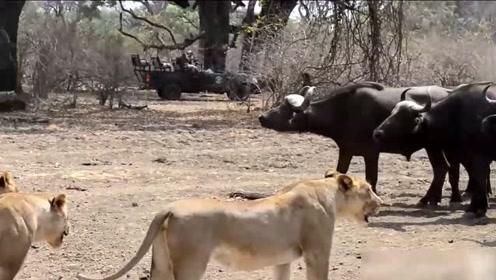 凶猛的非洲狮群遇见团结一致的水牛群也不敢轻易动手,就怕葬身在牛角下!
