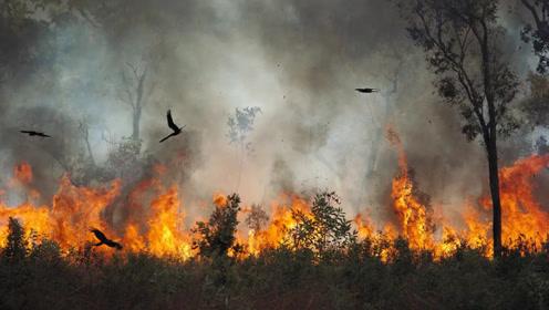 澳大利亚这种鸟可以纵火烧山,经常把山野点燃,当地人恨之入骨!