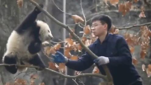 熊猫宝宝:我不下去!你再过来我跳了啊!有没有人救救国宝!