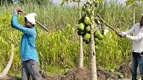 印度人收水果,就是与众不同,太省事了