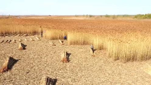 """开镰咯!这个""""苇秋""""够壮观 18000亩芦苇迎收割"""