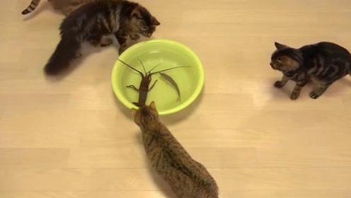 龙虾和鱼同时摆在小猫们面前,它们却和龙虾过不去,结果全部吓退