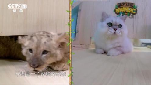 柔软度挑战!猫是水做的 狮子是水……泥做的?