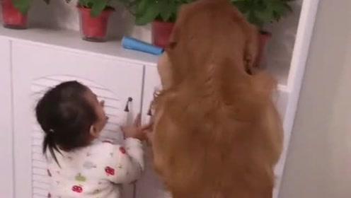 只要狗子够得到的东西,小宝宝就没有拿不到手的,懂事的金毛都要被带歪了