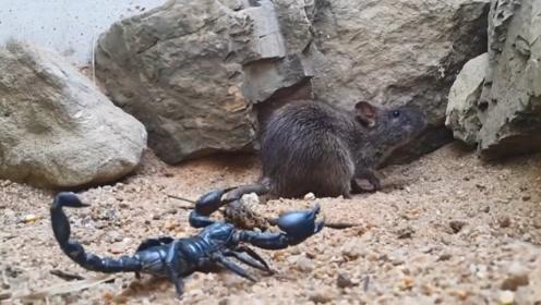 蝎子遇上老鼠本想饱餐一顿,没想到被捶惨了,下秒憋住别笑!