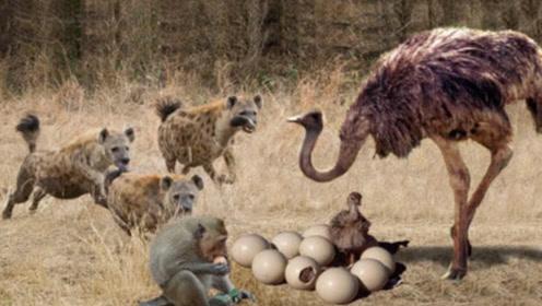 刚出生的小鸵鸟被鬣狗盯上,鬣狗准备下口时,回头一看却拔腿就跑