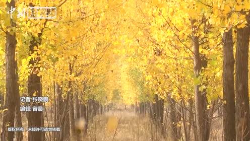 黄河滩里的杨树林初冬变金色海洋