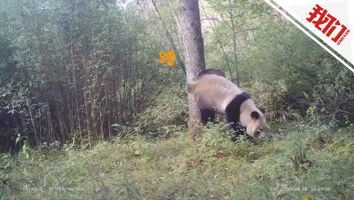野生大熊猫标记领地视频曝光 倒立排尿动作妖娆