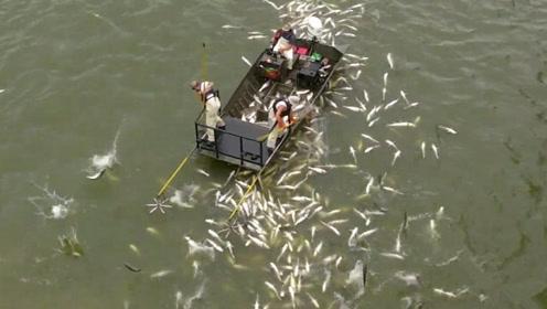 亚洲鲤鱼霸占了美国河道,泛滥成灾,轮船经过整个河面都沸腾了!