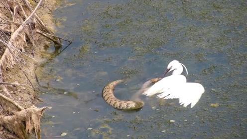 都说鹬蚌相争渔翁得利,那么鹬和蛇相争呢?结果让人震惊