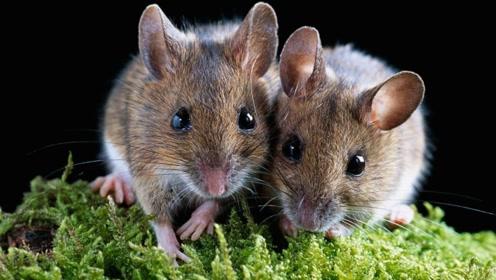 都说老鼠有害人类,那如果老鼠灭绝了,世界会变成什么样子?