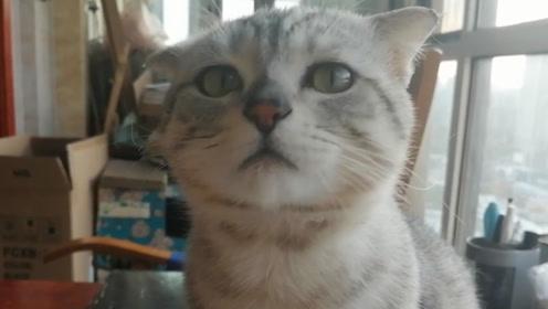 主人藏了小猫的猫条,猫咪居然开始吃空气了!
