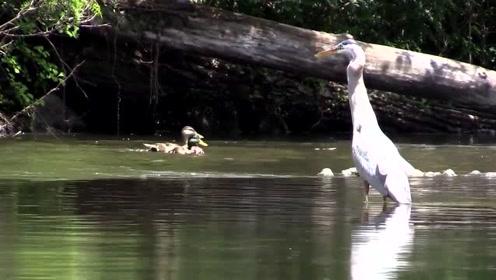 灰鹤抓到鱼后直接收入囊中,鱼在灰鹤的胃里一直在跳动,好绝望