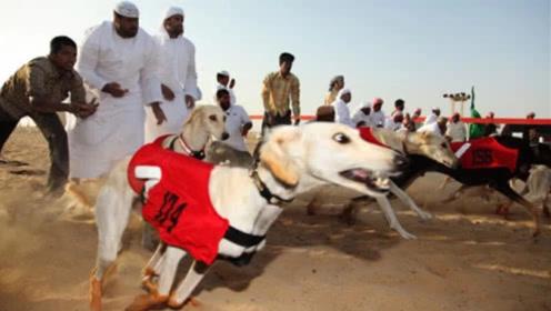 身价几百万的猎犬,迪拜土豪一口拿下,起步那一刻太值了!