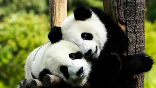 狮子老虎为啥不敢攻击大熊猫?得知熊猫另一个名字,瞬间叹服了