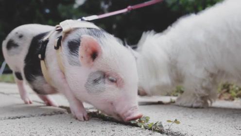 女子养了一头宠物猪,长大后扬言要和猪结婚,父母都拿她没办法!