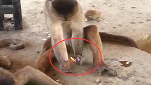 猴子抢到一个打火机,不料玩火机把猴毛烧焦了,转身对游客就骂