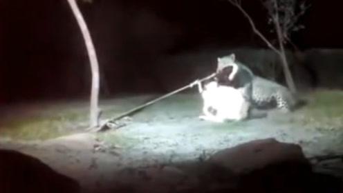 羊被拴在树上,半夜来了一头豹子,羊好绝望