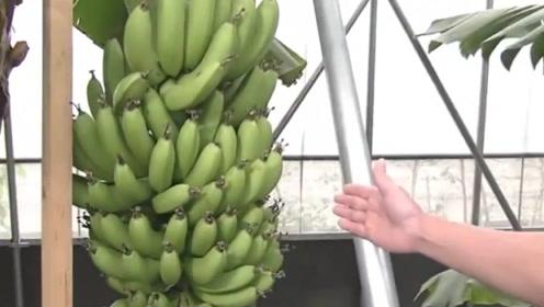 """日本""""网红香蕉""""37元一根,连皮都可以吃,网友吐槽没有灵魂!"""