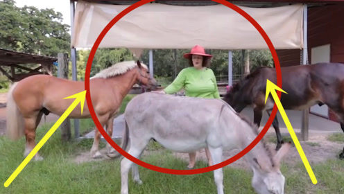 骡子真的不能生育吗,这就是马和驴干的好事,让人红了脸!