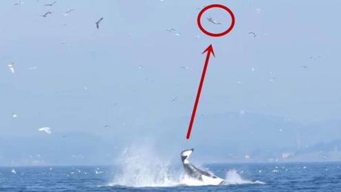 虎鲸一尾巴子,把海豹抽上20米高空,一点都不夸张真20米
