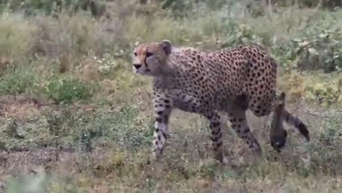 两只猎豹盯上落单的猎物,快速出击将其扑倒,小角马被轻易制服