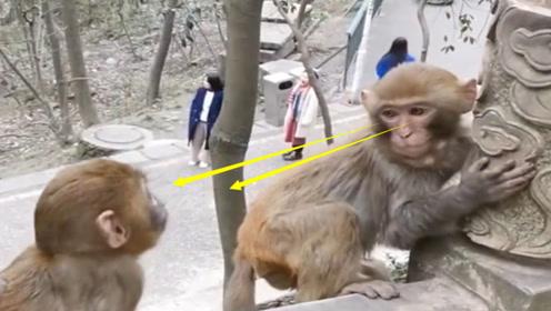 小猴子欺负小妹妹,被妈妈收拾完以后,眼神里面写满了委屈