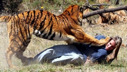 在野外遇到老虎时,为什么不能转身逃跑?原来是这个道理
