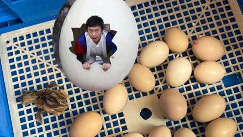 孙俪在家孵出小鸡,心疼超哥又躺枪