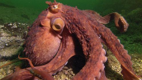 老外出海捕蟹,遭到巨型章鱼偷袭,结果全军覆没