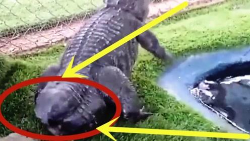 """鳄鱼掐架被咬掉尾巴,求助科学家,下秒被""""重塑金身""""!"""