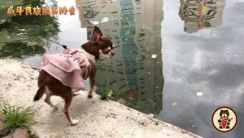 吉娃娃第一次看见鸭子,全身都透着一股兴奋劲