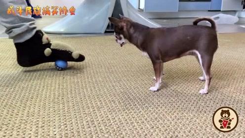 吉娃娃和主人玩足球,狗子一脸专注,太可爱