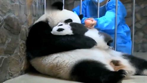 熊猫宝宝:说好的母爱无边呢?一个苹果咋还换两个崽崽呢!