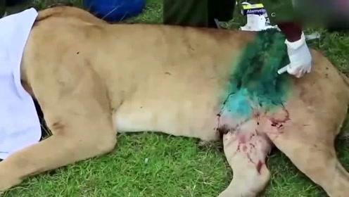 狮子被水牛打得皮开肉绽,被动物救援队及时发现并医治,不然后果不堪设想