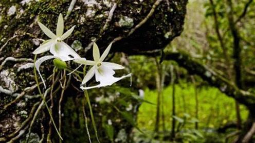 喜马拉雅山发现世界上最贵的兰花,形状似翻转的青蛙,价值1500万