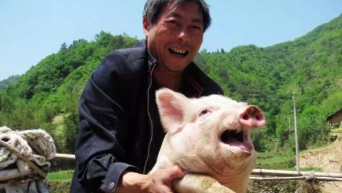 年底稳了?多地猪肉价格再次上涨,散养户或许能大赚一笔