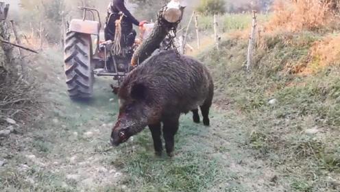 400斤野猪闯进村庄,村民合力将其制服,场面壮观!