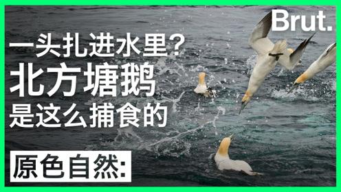 一头扎进水里捕鱼?北方塘鹅就是这么做的