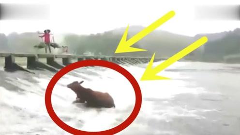 大黄牛突然掉进河里,草帽姐淡定观看黄牛如何逃生,要不是监控谁会相信