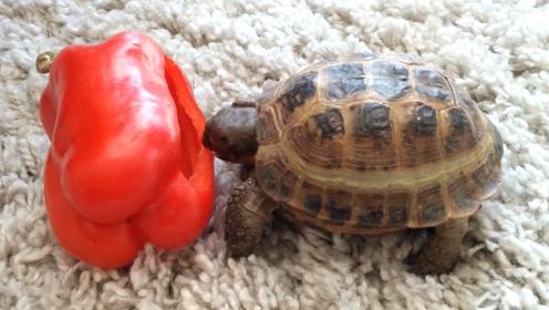 世界上最辣的死神辣椒,被乌龟吃掉后,接下来达到龟生巅峰