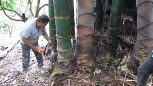 世界上最大的竹笋,一个月也吃不完,用电锯才能获得!